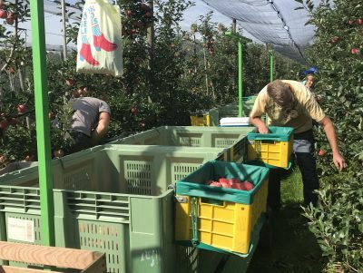 Ernte Tafeläpfel