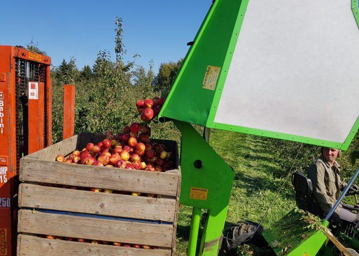 Ernte Mostäpfel
